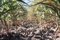 Corn crop, 1983