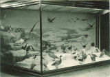 Display of birds in the Museum of Natural History in Macbride Hall, the University of Iowa, 1950s?