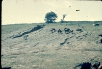 Erosion damaged field with cattle.
