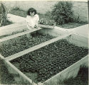 Pharmacy student moving plants into coldframe, The University of Iowa, 1940s