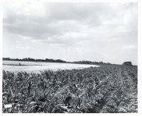 Young cornfield