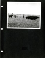 Ed Amdar in a Field with Cattle.
