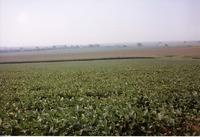 Joel Cornelius bean field