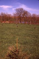 New Trees on Bob Mann's Farm.