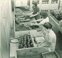 Pharmacy students working with plants in a greenhouse, The University of Iowa, 1940s